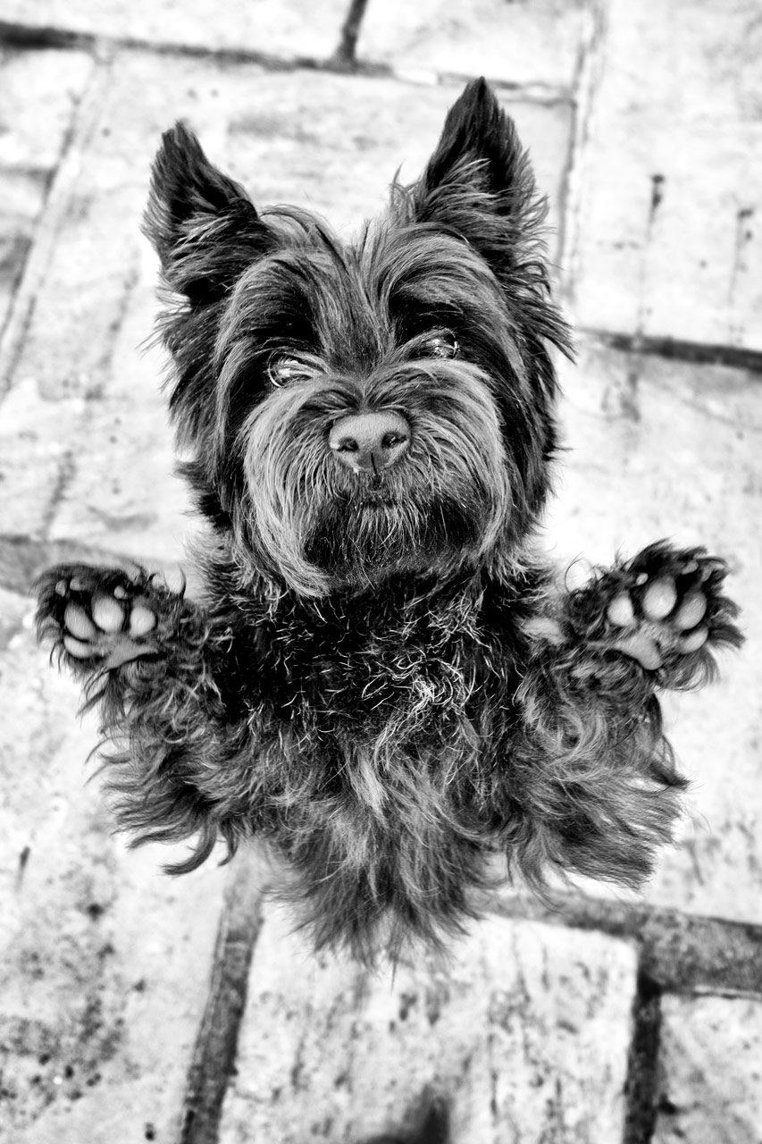 Cairn, terrier, hund, cirkus, portræt, fotograf, københavn